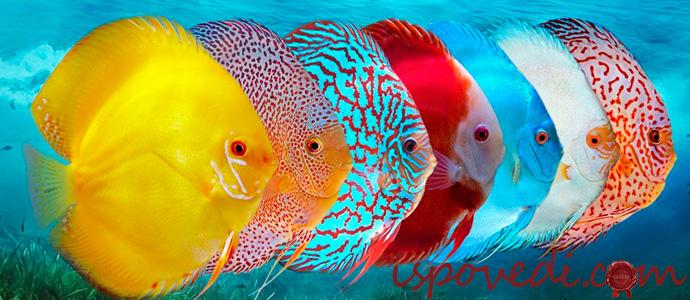 рыбки дискусы