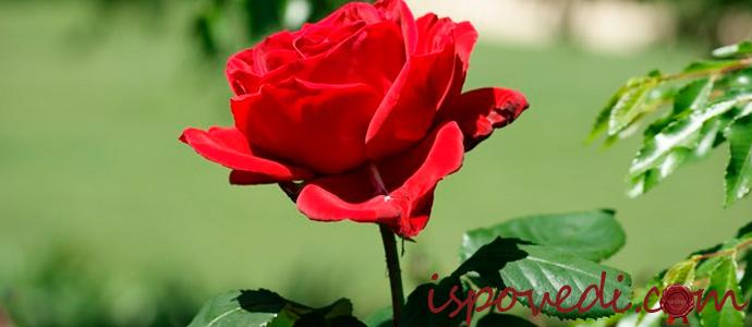 составление букета из роз